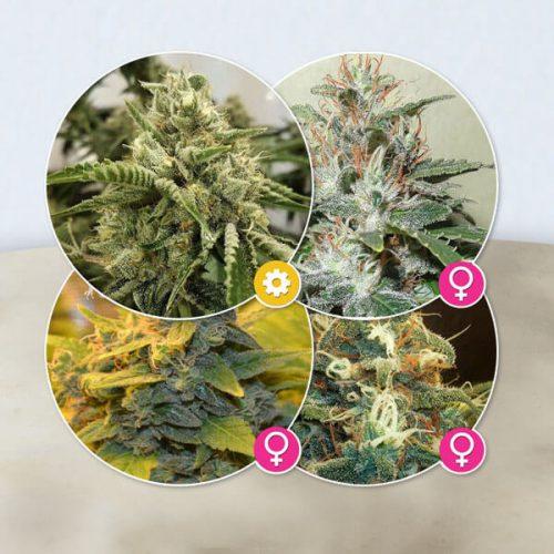 Cannabis zaden