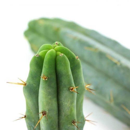 San Pedro cactus - Herbal Spirit