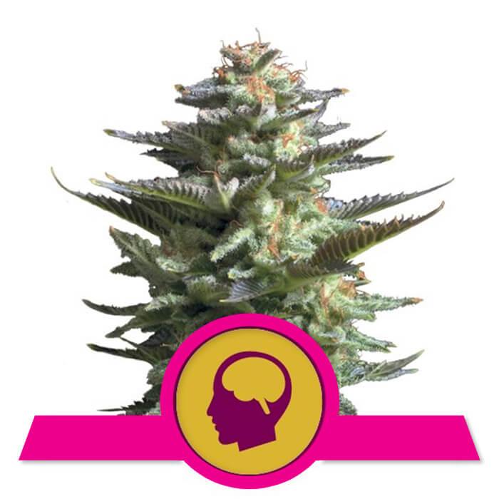 herbalspirit-amnesia-haze