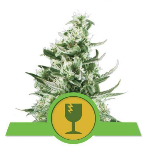 herbalspirit-critical-automatic