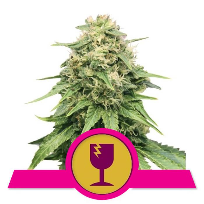 herbalspirit-critical