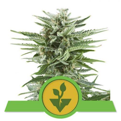 herbalspirit-easy-bud