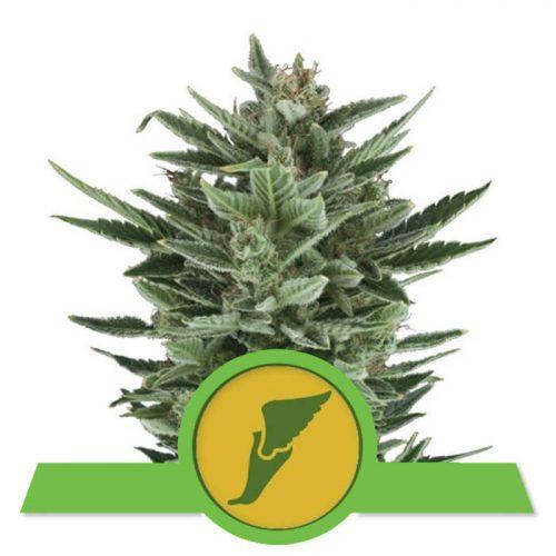 herbalspirit-quick-one