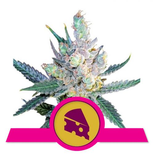 herbalspirit-royal-cheese-fast-flowering