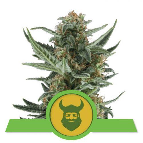 herbalspirit-royal-dwarf