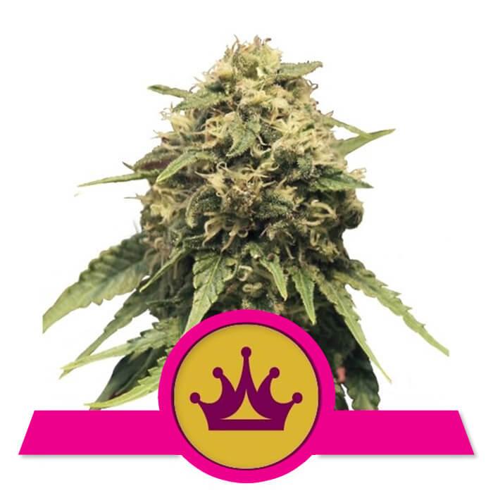 herbalspirit-special-queen